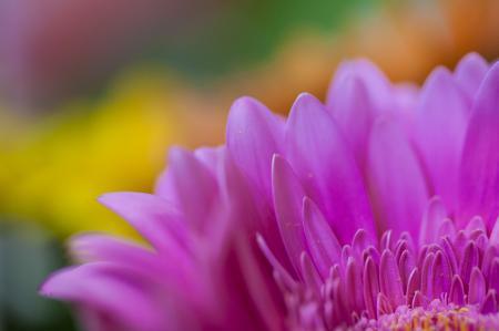 Обои цветок, гербера, розовая, лепестки