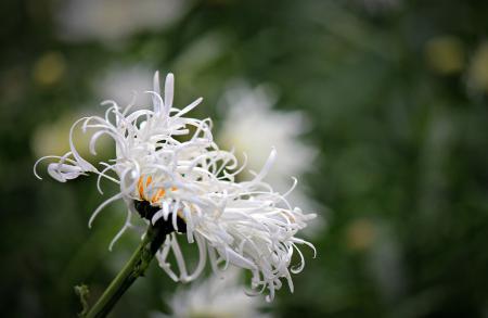 Обои макро, цветок, ромашка, махровая