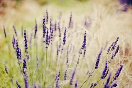 Заставки поле, трава, цветы, лаванда