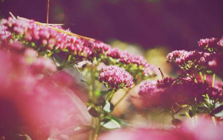 Фото розовые, цветы, лепестки