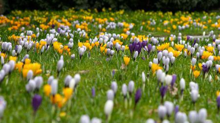 Фотографии лето, поляна, цветы, крокусы
