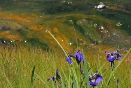 Заставки лето, гора, цветы, ирис