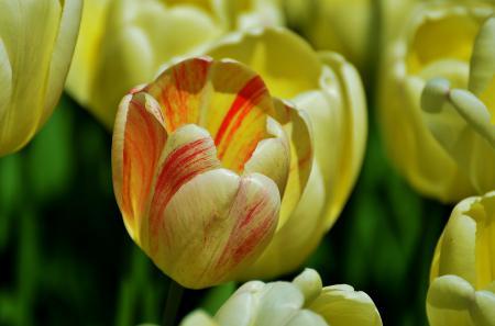 Картинки тюльпаны, бутон, макро