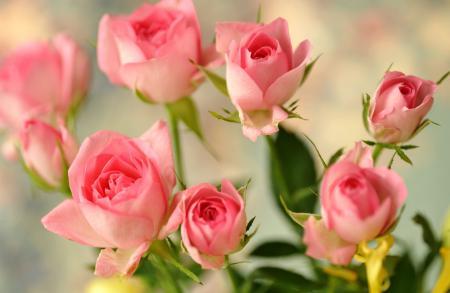 Фотографии розы, бутоны, розовые, цветы