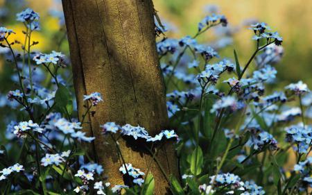 Заставки незабудки, полевые  цветы, дерево