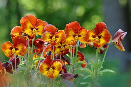 Фотографии клумба, цветы, анютины глазки, желто-оранжевые