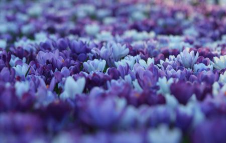 Картинки Крокусы, цветы, поляна, весна