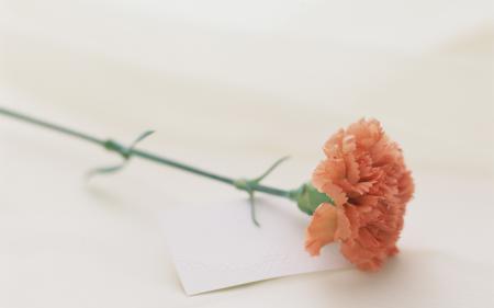 Картинки гвоздика, цветок, лепестки