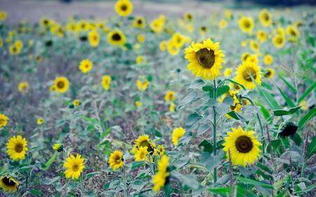 Заставки цветы, цветочки, fowers, подсолнухи