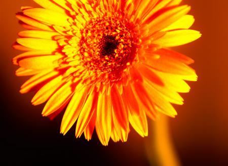 Фотографии гербера, оранжевая, цветок, лепестки