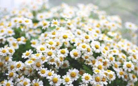 Фото ромашки, цветы, цветочки, поле