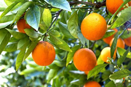 Фотографии oranges, fruits, leaves, апельсины