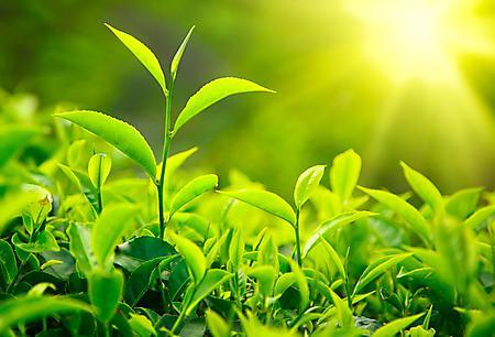 Заставки чайные листья, зеленые, ростки, солнце