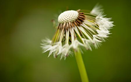 Фотографии макро, одуванчик, растение, размытие