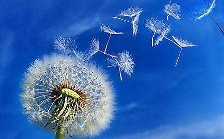 Заставки полевой цветок, пушистый цветок, семена разлетаются, ветер