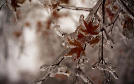 Картинки ветка, листья, лед, зима
