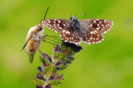 Обои растение, цветок, бабочка, муха