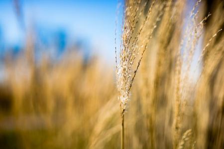 Обои трава, колосок, макро