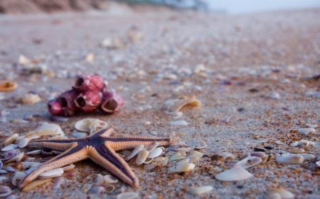 Обои морская звезда, ракушки, пляж, песок