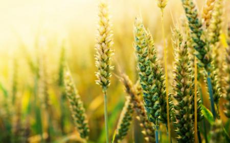 Заставки злаки, пшеница, макро, поле