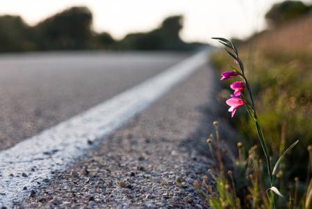 Фотографии макро, цветок у дороги, цветок, растение