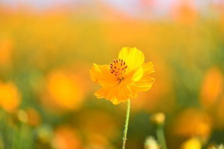 Обои цветок, желтый, космея, фон