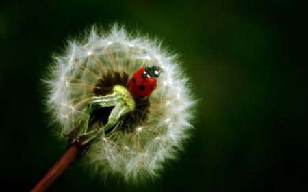 Заставки макро, природа, растение, одуванчик