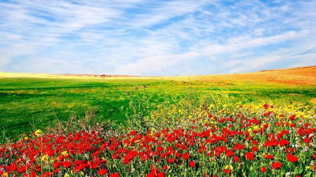 Обои засеянное поле, небо, цветы, природа