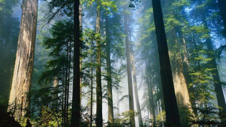 Картинки хвойные, лето, деревья