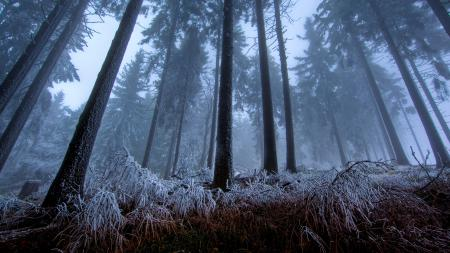 Обои лес, сумерки, мороз