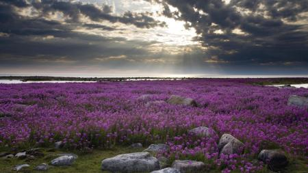 Картинки пейзаж, поле, цветы, камни