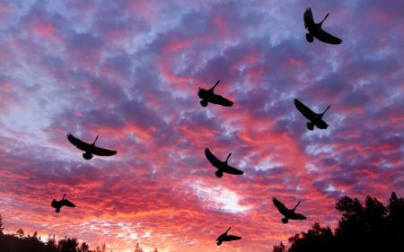 Фото Лебеди, зарево, облака