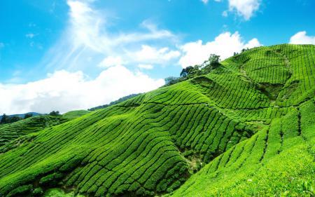 Обои Tea plantation, горный, склон, чайная