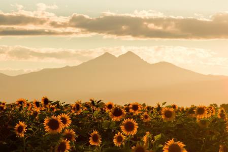 Обои faded evening summer skies, подсолнух, поле, горы