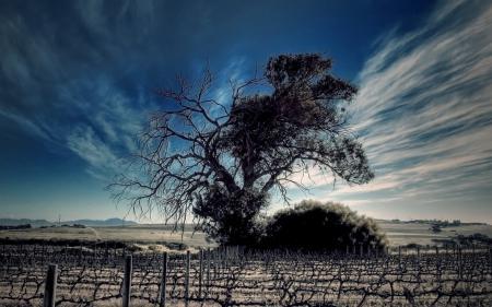Обои поле, лоза, виноград, ряды