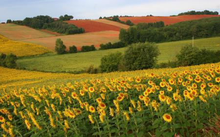 Заставки поля, подсолнухи, лето, цвет