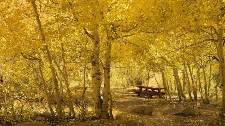 Обои осень, лесок, залитый солнцем, берёзовый