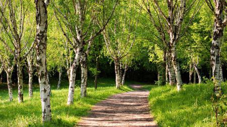 Картинки аллея, через лес, дорожка, берёзовый