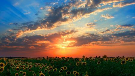 Фото подсолнухи, поле, закат, солнце