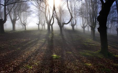 Обои лес, деревья, утро, туман