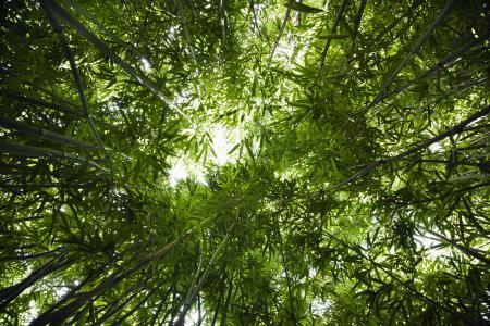 Фотографии Лес, бамбук, вид снизу