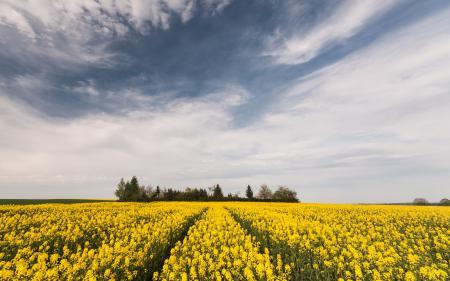 Обои лето, поле, рапс, природа