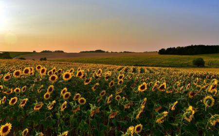 Фотографии закат, поле, подсолнухи, пейзаж
