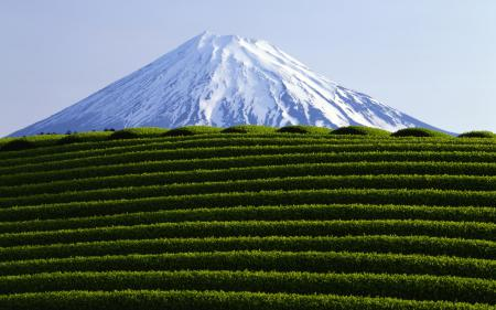 Фотографии пейзажи, чайные плантации, чайная плантация, листья