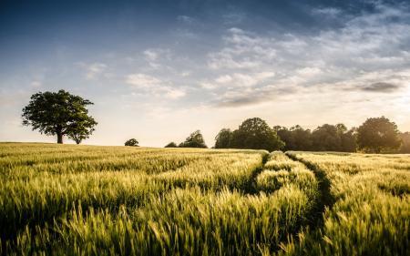 Картинки поле, дерево, лето, пейзаж