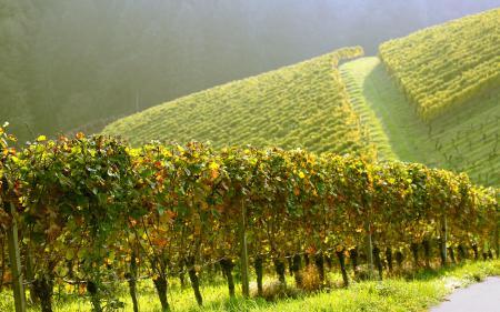 Заставки плантации, виноградники, вверх, угор