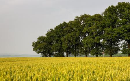 Фото поле, колосья, деревья, пейзаж