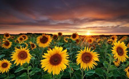 Фото поле, подсолнухи, закат, пейзаж