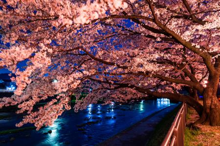 Фото сакура, дерево, цветущая сакура, Япония