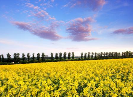 Заставки Yellow field, весна, цветущий, луг